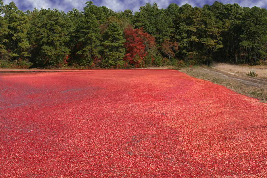 cranberry bog full of cranberries in the New Jersey Pine Barrens