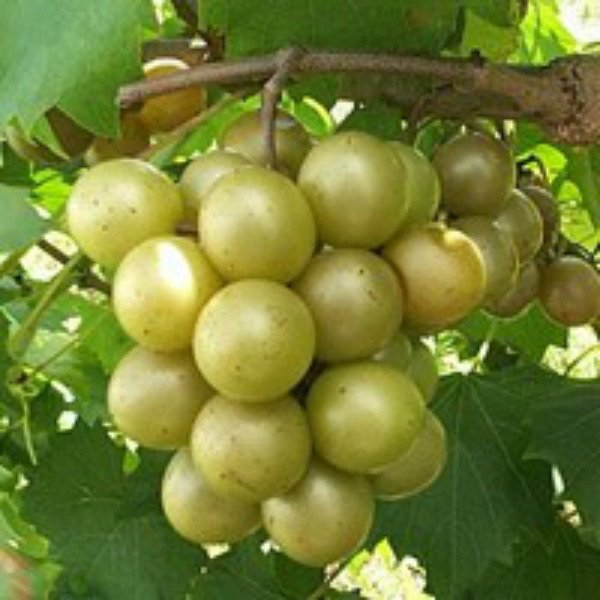 scuppernong grapes on the vine